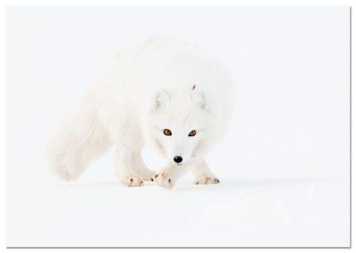 Arctic Fox, Zorro polar, Poolvos, Alopex lagopus, Svalbard