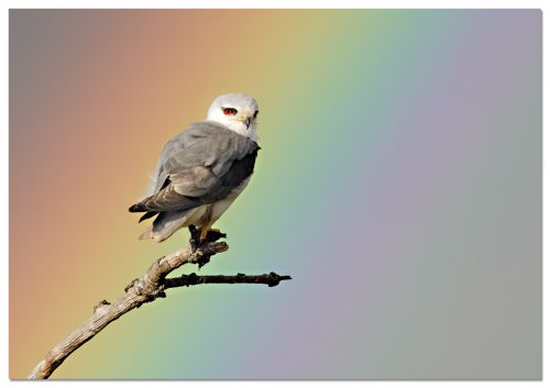 Black-winged Kite (Elanus caeruleus)