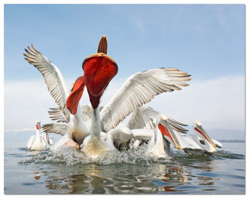 Dalmatian Pelican action, Pelícano ceñudo, Kroeskoppelikaan, Pelecanus crispus, Greece
