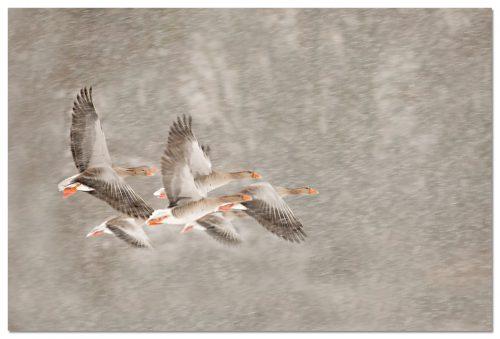 Greylag Goose, Ansar común, Grauwe Gans, Anser anser